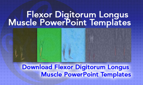 Flexor Digitorum Longus Muscle Medicine PowerPoint Templates